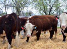 Histórico: la primera exportación de carne a Japón será de Río Negro